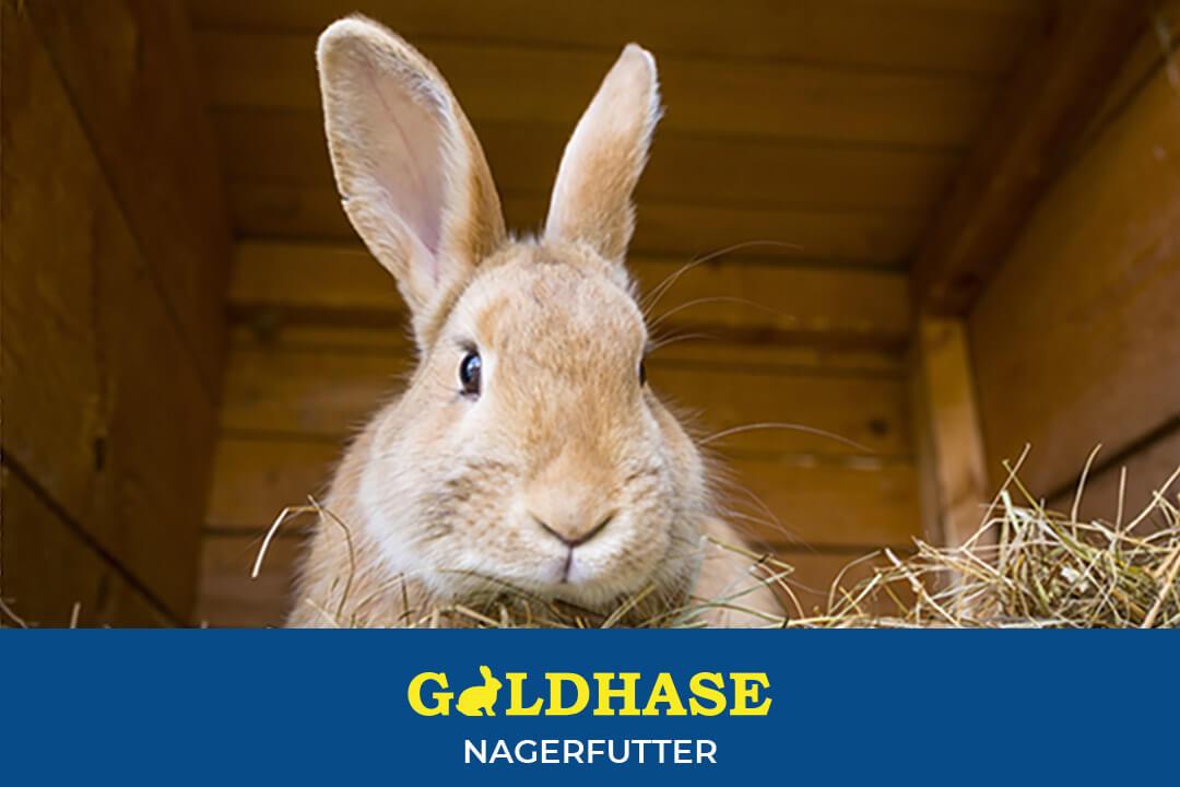 GOLDHASE