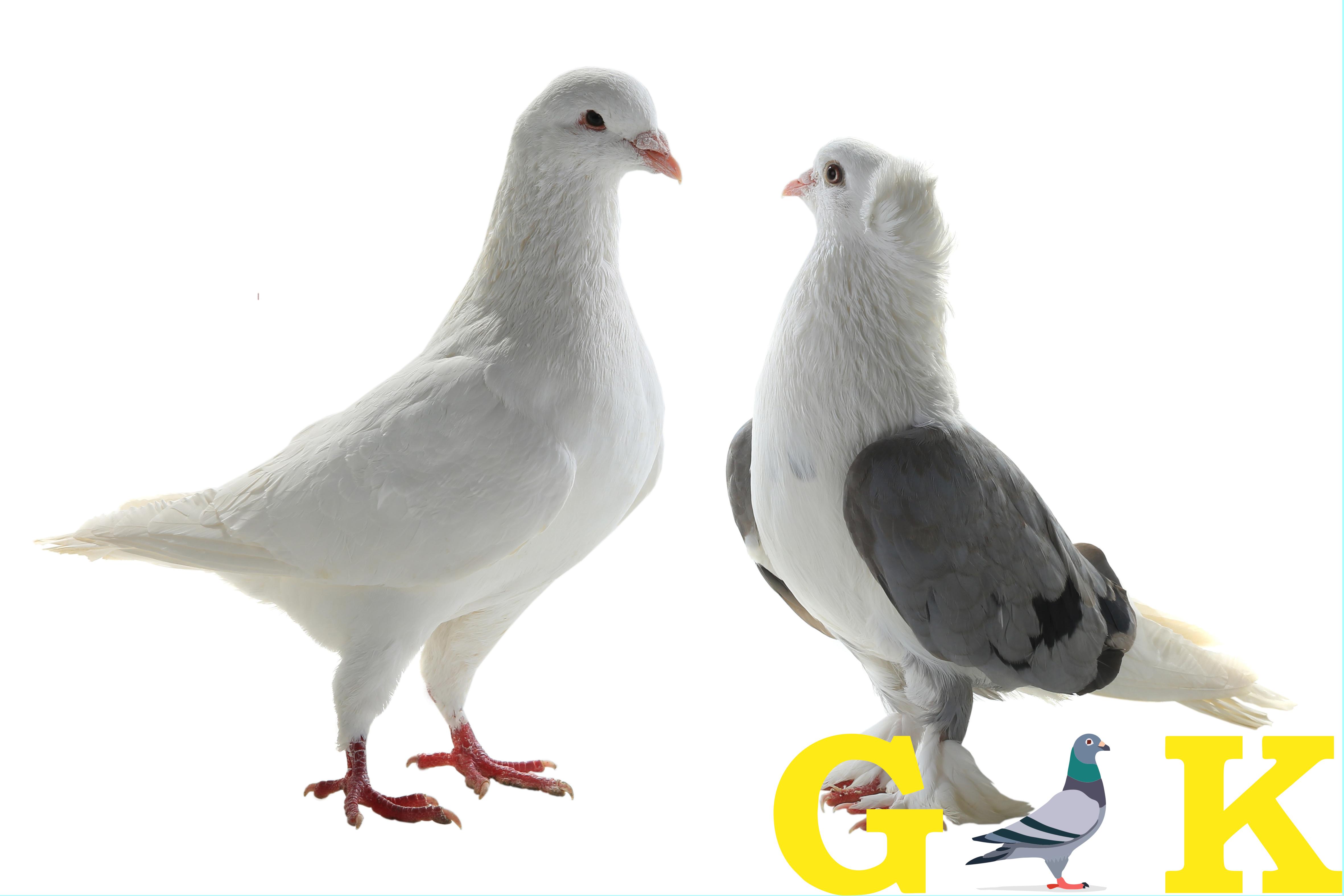 GOLDKORN Taubenfutter